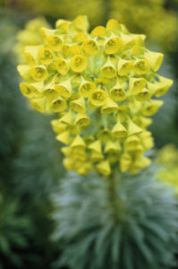 Euphorbia characias, Spurge by Carol Sharp