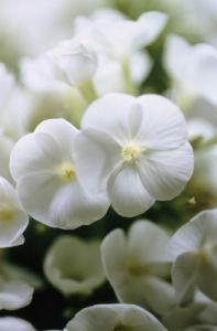 Phlox paniculata, Phlox by Carol Sharp