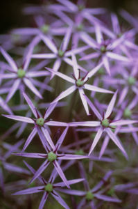 Allium cristophii, Allium by Carol Sharp