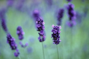 Lavandula, Lavender by Carol Sharp