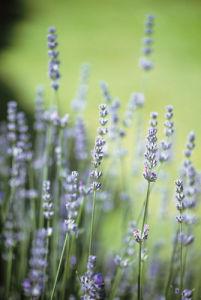 Lavandula, Lavender by Carol Sharp