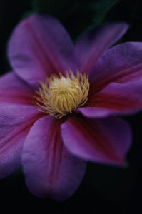Clematis 'Beauty of Worcester', Clematis by Carol Sharp