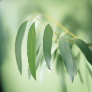 Eucalyptus globulus, Eucalyptus by Carol Sharp