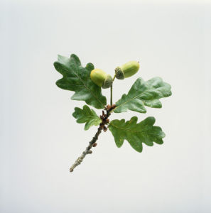 Quercus robur, Oak - Acorn by Carol Sharp