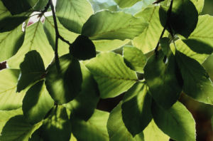 Fagus sylvatica, Beech by Carol Sharp