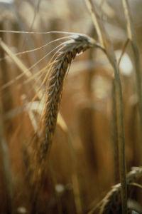 Hordeum, Barley by Carol Sharp