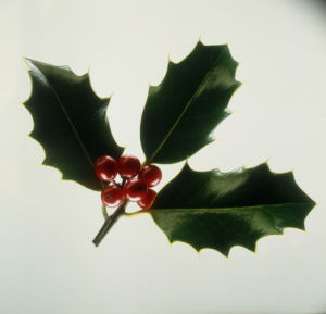 Ilex aquifolium, Holly by Carol Sharp