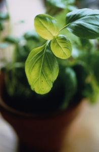 Ocimum basilicum, Basil by Carol Sharp