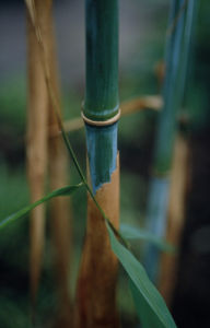 Phyllostachys, Bamboo by Carol Sharp