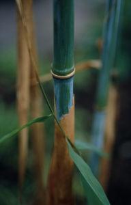 Phyllostachys, Bamboo by Carol Sharp