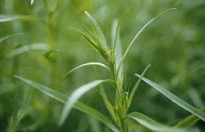 Artemisia dracunculus, Tarragon by Carol Sharp