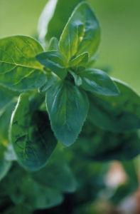 Origanum onites, Marjoram - Pot marjoram by Carol Sharp