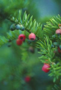 Taxus, Yew by Carol Sharp