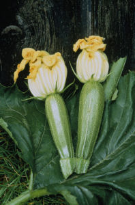 Curcubita pepo, Courgette by Carol Sharp