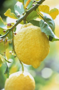 Citrus limon, Lemon by Carol Sharp