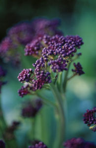 Brassica oleracea italica, Broccoli - Purple sprouting broccoli by Carol Sharp