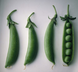 Pisum sativum, Pea by Carol Sharp