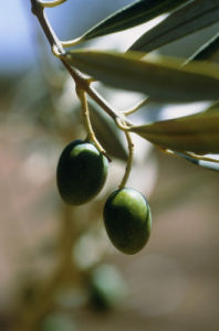 Olea europea, Olive by Carol Sharp