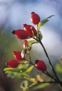 Rosa canina, Rosehip by Carol Sharp