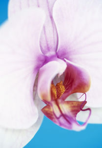 Phalaenopsis, Orchid - Moth orchid by Cunningham -Waterman