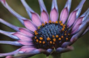 Osteospermum 'Sunny sonsa' by Dave Tully
