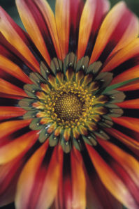 Gazania 'Sundance', Treasure flower by Dave Tully