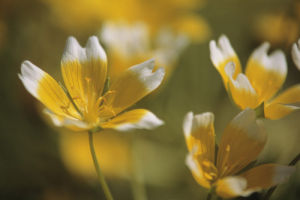 Limnanthes douglasii, Poached egg plant by Dave Tully
