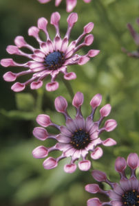 Osteospermum 'Pink Whirls' by Dave Tully