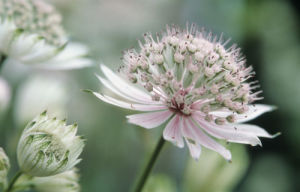 Astrantia major, Masterwort by Dave Tully