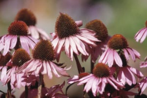 Echinacea purpurea, Purple coneflower by Dave Tully
