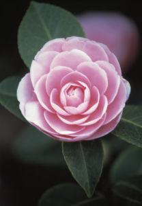 Camellia, Camellia by Dave Zubraski