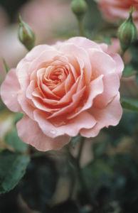 Sandringham Centenary Rose by Dave Zubraski