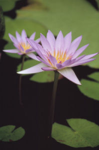 Nymphaea capensis 'Cape Blue', Water lily, Blue Lotus by Dave Zubraski