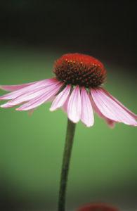Echinacea purpurea, Purple coneflower by Dave Zubraski