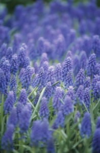 Muscari, Grape hyacinth by Dave Zubraski