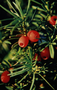 Taxus x media, Yew by Ewa Ohlsson