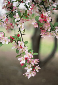 Prunus cerasifera, Cherry plum by Grace Carlon