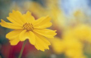 Coreopsis auriculata, Coreopsis by Grace Carlon