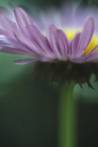 Aster, Aster by Grace Carlon