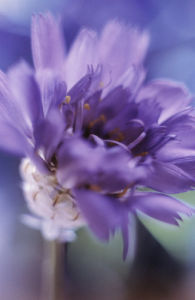 Catananche, Blue cupidone by Grace Carlon