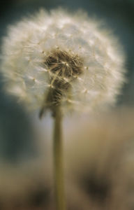 Taraxacum officinale, Dandelion clock by Grace Carlon