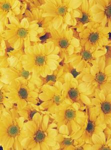 Chrysanthemum, Daisy by Gill Orsman