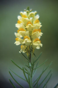 Linaria vulgaris, Toadflax by Ines Roberts