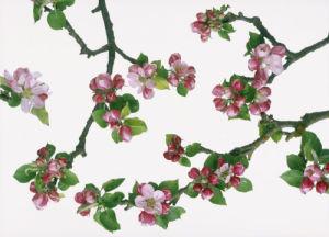 Malus domestica, Apple by John Beedle