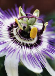 Passiflora caerulea, Passion flower by John Beedle
