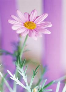 Argyranthemum, Daisy by John Beedle