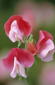 Lathyrus odoratus, Sweet pea by Jonathan Buckley