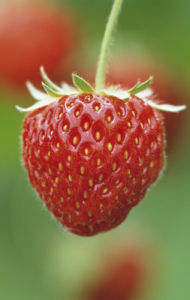 Fragaria x ananassa 'Pandora', Strawberry by Jonathan Buckley
