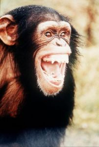 Chimpanzee by Mirrorpix