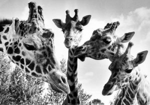 Giraffes at Twycross zoo by Mirrorpix